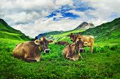 Alpine cows grazing in the meadow high in the mountains poster