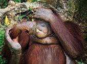 orangutang in Kubah National Park malaysia poster