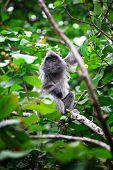 Silver Leave Monkey in bako park, borneo malaysia poster