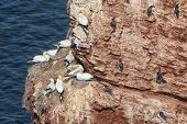 Northern Gannets and guillemots brooding and sitting at their nests at red cliffs of Helgoland, Germany poster