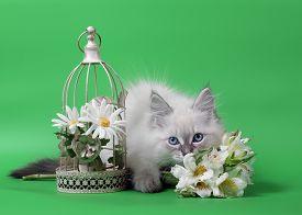 Siberian Neva Masquarade Colorpoint Kitten On Green Background Wirh Flowers