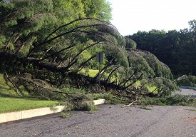 Storm Damage. A Large Evergreen Tree Knocked Over By A Severe Summer Storm Lies Fallen Across A Subu