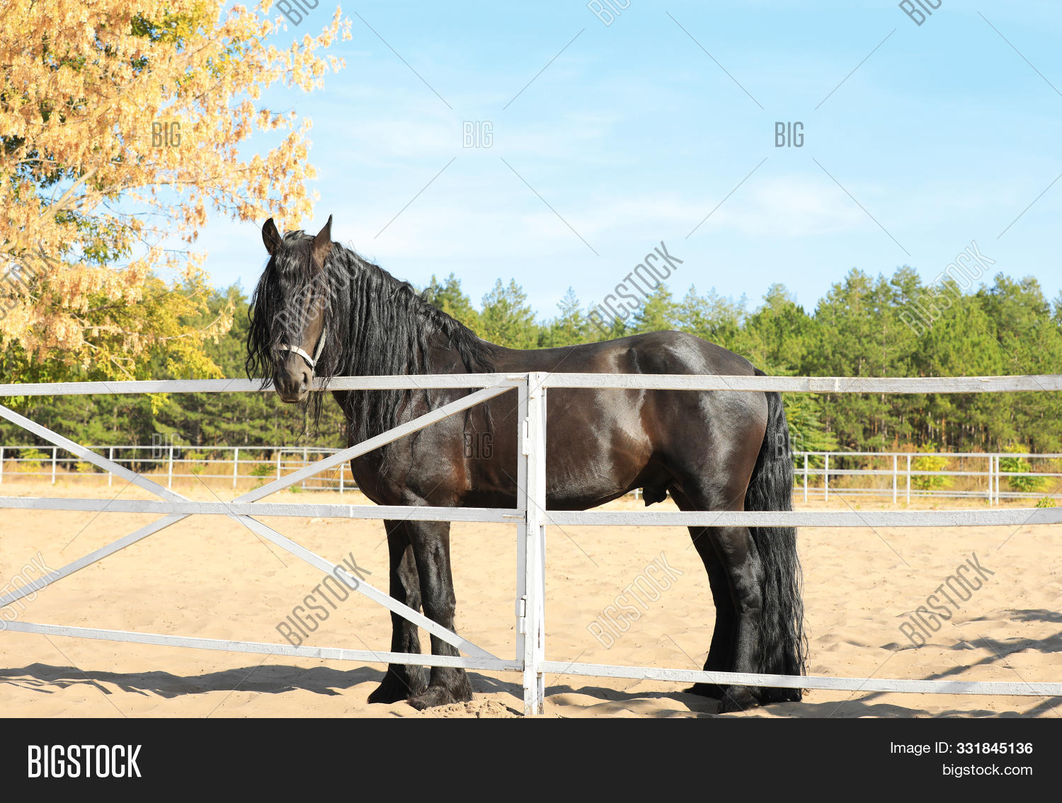 Beautiful Friesian Image Photo Free Trial Bigstock