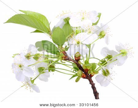 Branch Of Apple-tree With White Flowers