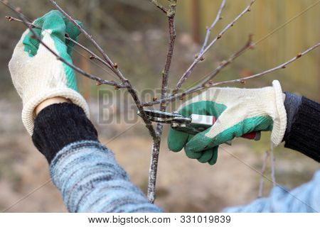 Gardener Pruning Pruner Branches Of A Fruit Tree In The Spring. Crown Formation Time