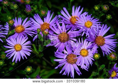 Cute Purple Autumn Asters In The Evening Dusk. Easy To Grow Perennial Flowers. August And September