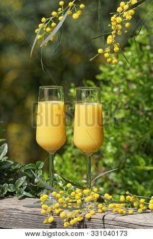 Elegant glasses with yellow mimosa cocktail on the vintage beach wooden rail with mimosa flowers and green foliage