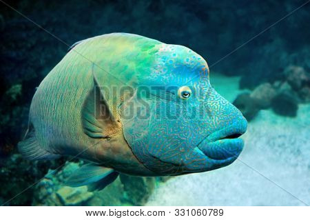 Fish Napoleon Wrasse (cheilinus Undulatus) On A Coral Reef. Close Up