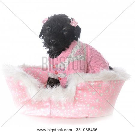 8 week old female bouvier des flandres puppy in a dog bed