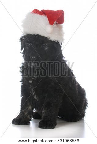 8 week old male bouvier des flandres puppy wearing santa hat on white background