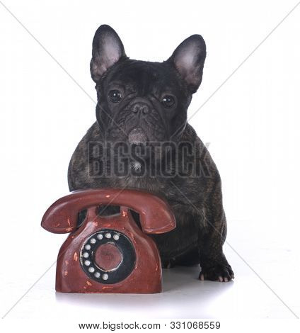 brindle female French bulldog puppy sitting behind a telephone isolated on white background