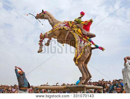 Bikaner, India - January 12, 2019: Dromedary Camel Dancing During Camel Festival In Rajasthan State
