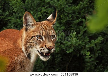 The Eurasian Lynx (lynx Lynx) Staying In Front Of The Forest. Young Male With Green Background. Lynx