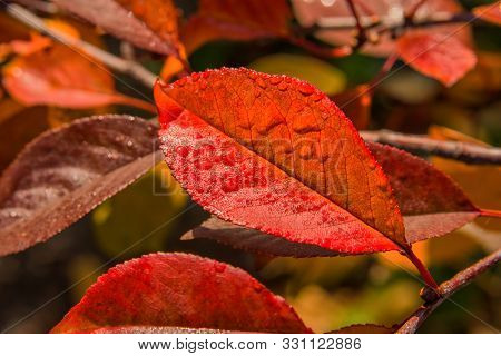 The Colors Of Autumn. Autumn Leaves Of The Cherry (cerasus), After The Rain Closeup. Selective Focus