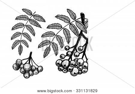 Branch Of Rowanberry With Leaves And Berries. Rowanberry Hand Drawing Vector Illustration Isolated O