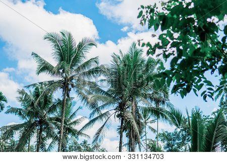 Island Bali In Indonesia In Southeastasia. Coconut Palm Tegallalang Near Ubud