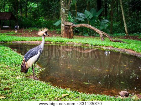 Black Fronted Piping Guan Exotic Tropical Bird Wildlife Animal In Nature.