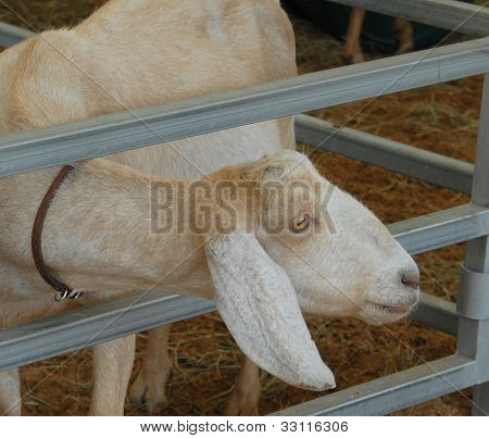 Goat with Long Neck