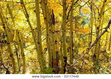 Aspen Autumn Yellow