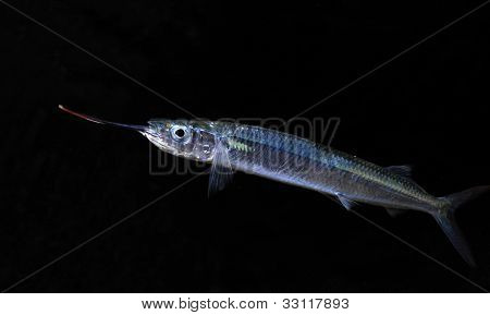 Ballyhoo Fish Isolated On Black