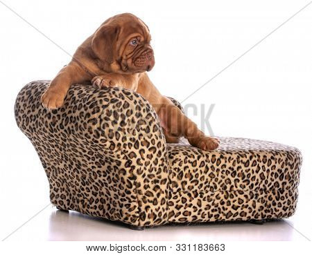 dogue de bordeaux puppy sitting on a leopard skin couch isolated on white background