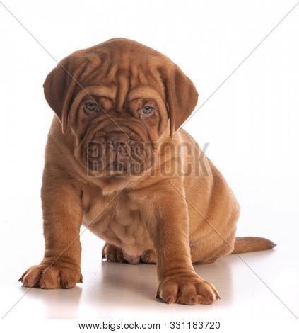 dogue de bordeaux puppy sitting isolated on white background