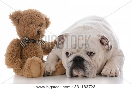 enlish bulldog being comforted by a teddy bear on white background