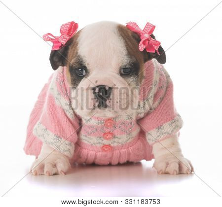 female English bulldog puppy wearing a pink dress and hair bows sitting isolated on white background