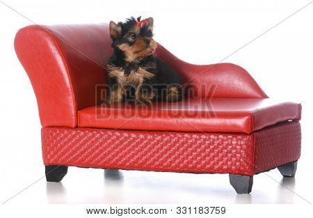 female yorkshire terrier puppy on red leather couch isolated on white background