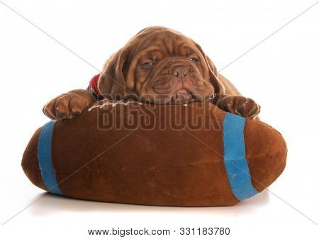 dogue de bordeaux puppy laying on a stuffed football isolated on white background