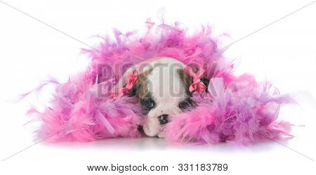 female English bulldog puppy tucked in a pile of pink feathers