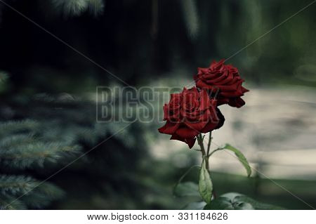 Two living roses of red velvet color on long stems standing against a background of conifers. poster