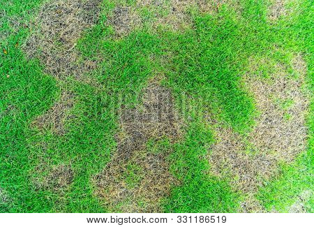 Grass Texture, Grass Background. Patchy Grass, Lawn In Bad Condition And Need Maintaining, Pests And