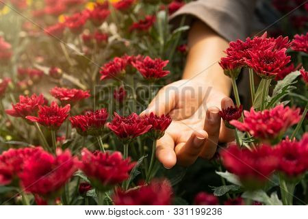 Female Open Hand Palm In Between Wild Red Chrysanthemum Flowers In A Countryside Meadow With Bright