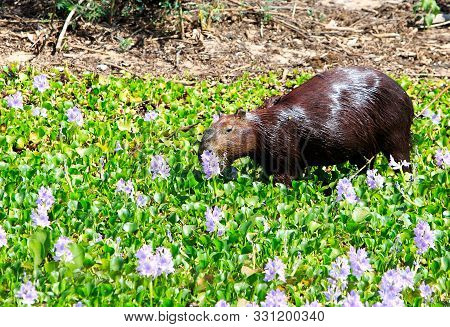 Vibrant Image Of A Capybara Wallowing In The Lush Pantanal Wetlands In Brazil