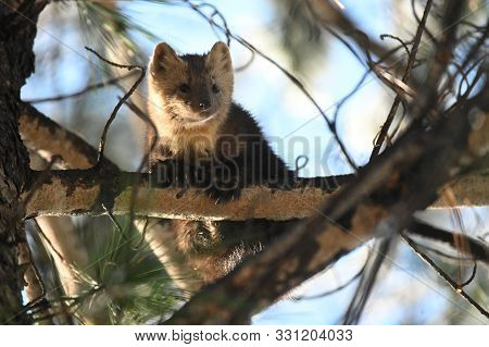Sable Sits On A Tree Branch In The Taiga In The Natural Environment