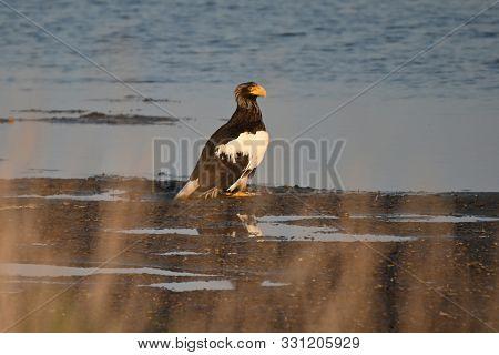 Stellers Sea Eagle Sits On The Seashore