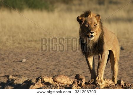 Lion Male (panthera Leo) Walking In Kalahari Desert And Looking For The Rest Of His Pride In Morning