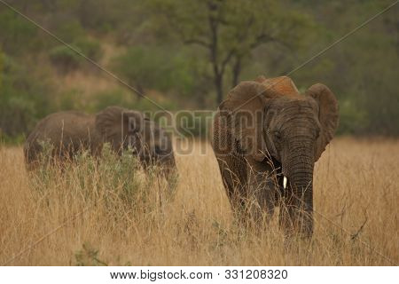 Young Elephant (loxodonta Africana) In Pilanesberg National Park (game Reserve) Going In Savanna Wit