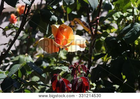 This Is An Image Of A Orange Rose Growing In Carmel, California.