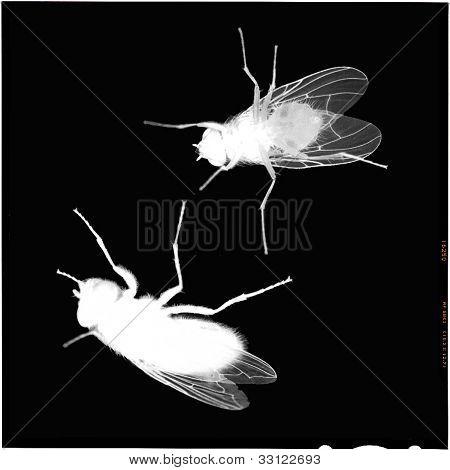 Houseflies