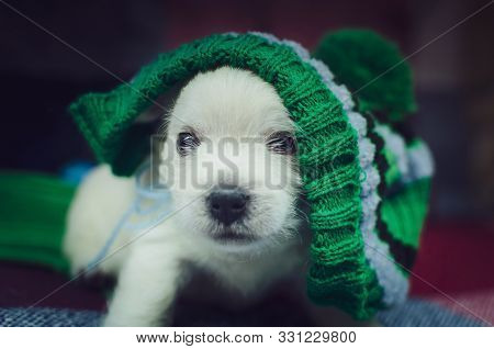 The One Month Old West Highland White Terrier Puppy. The Small Cute Adorable Dog Is Looking At Camer