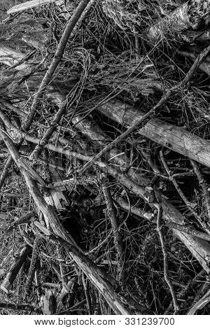 Branches Spruce Bunch After A Hurricane Windbreak, Gray Background Broken Trees Blocking Paths