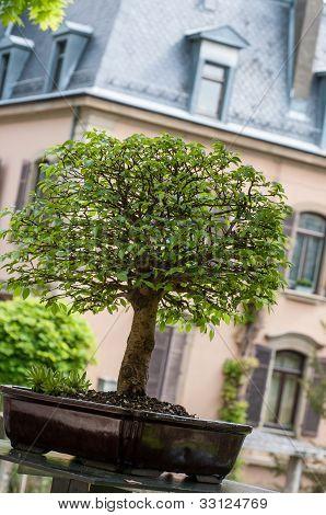 Green Elm As Bonsai Tree