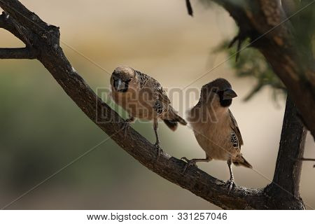 The Pair Of Sociable Weavers (philetairus Socius), Also Known As The Common Social Weaver,common Soc