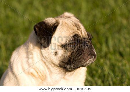 Pug Dog In The Sun