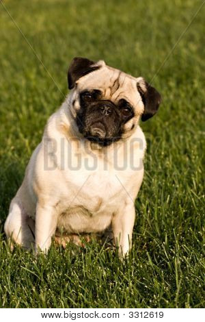 Beautiful Pug Dog