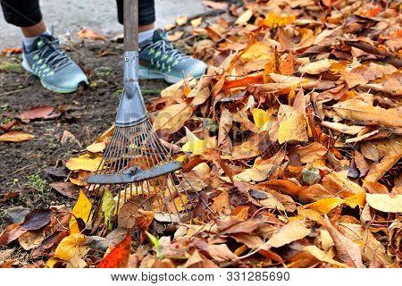 Yellow, Orange, Fallen Leaves In Autumn In The Autumn Garden Gardener Is Raking A Bunch With A Metal
