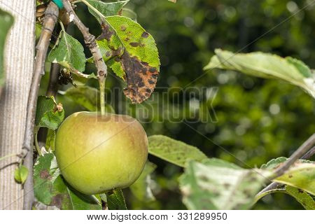 Scab On The Leaves And Fruits Of An Apple Tree Close-up. Diseases In The Apple Orchard