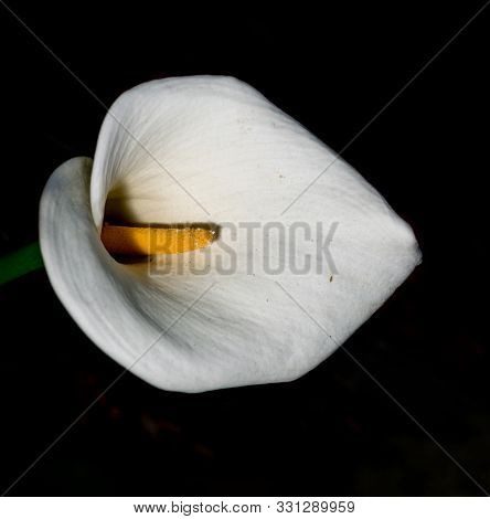 A White Calla Lilly Flower With Yellow Stalk From Above Against Black Background